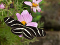 Zebra Longwing Butterfly at the Butterflies and Blooms.jpg