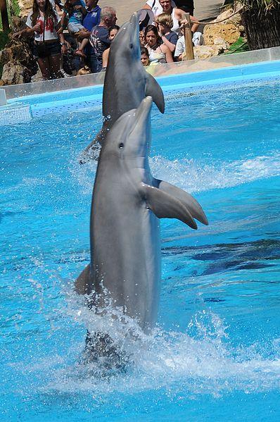 File:Zoomarine Dolphins (15).jpg