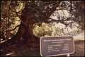 """WORLD'S LARGEST BIGLEAF MAPLE"" IN ENGLISH CAMP - NARA - 545275.tif"