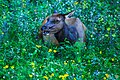 'bemused' female Elk (7897987932).jpg