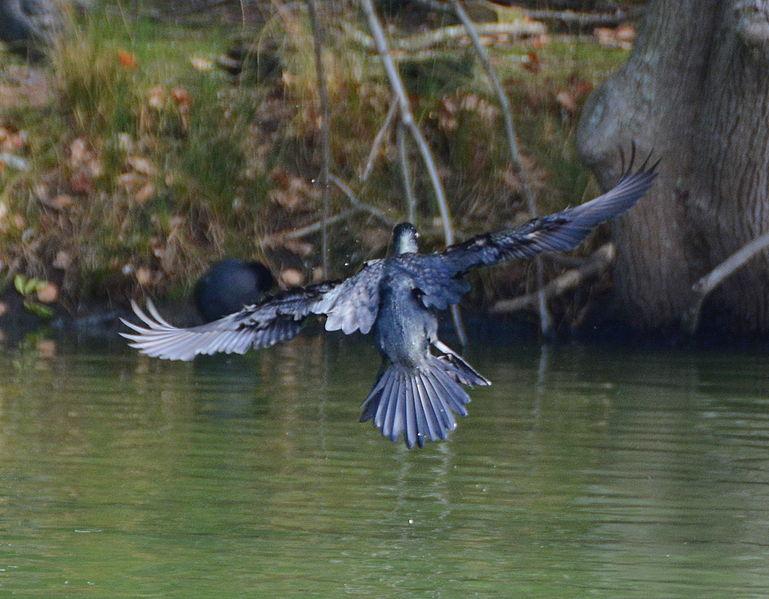 File:(1)Cormorant Centennial Park 032.jpg