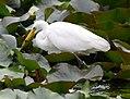 (1)Egret feeding 036.jpg