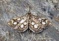 (1378) Phlyctaenia coronata (7625074240).jpg