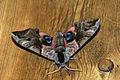 (1980) Eyed Hawk-moth (Smerinthus ocellata) (3521323824).jpg