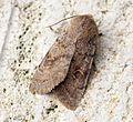 (2185) Lead-coloured Drab (Orthosia populeti) - Flickr - Bennyboymothman (1).jpg