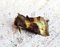 (2434) Burnished Brass (Diachrysia chrysitis) (9671556743).jpg
