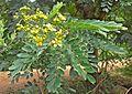 (Senna siamea) flowers & leaves at IG Zoological park.jpg