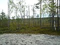 Беломоховые леса западнее Бондюга. Woods, Bondyug, Perm Region, Russia - panoramio.jpg