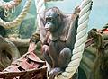 Борнейский орангутан I.jpg