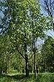 Бяроза павіслая ў Севастопальскім парку 24.jpg