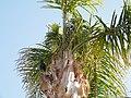 Ворона на пальмі.jpg