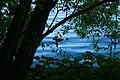 Елагин остров - утка с утятами в зарослях.JPG