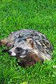 Енотовидная собака.jpg