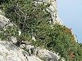 И на камнях растут деревья. Ай-Петри. Крым. Сентябрь 2012 - panoramio.jpg