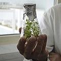Колба із клонованою рослиною in vitro.jpg