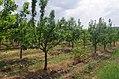 Крушови дрвја во Сирково 01.jpg