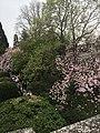 Магнолія весною 03.jpg