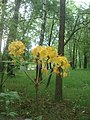 Рододендрон жовтий (Rhododendron luteum) у ботанічному саду ЖНАЕУ.jpg