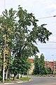 Тополь на перекрестке улиц Чкалова и Октябрьской революции.jpg