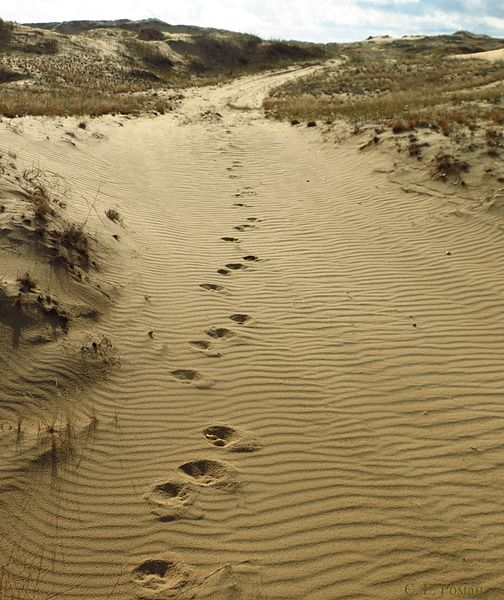 Wolf tracks in Oleshky Sands, Ukraine