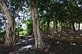 גן אלנבי - שדרה של עצים עם גזעים יפים.JPG