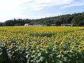 ひまわり牧場(Sunflower ranch).jpg