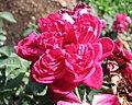中國古老月季-四面鏡 Rosa chinensis -深圳人民公園 Shenzhen Renmin Park, China- (46595331762).jpg