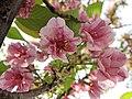 佐野櫻 Cerasus jamasakura Sano-zakura -日本京都植物園 Kyoto Botanical Garden, Japan- (26888276697).jpg