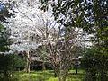 大和神社の桜.jpg