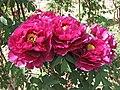 日本牡丹-紫雲殿 Paeonia suffruticosa Siunden -日本大阪長居植物園 Osaka Nagai Botanical Garden, Japan- (12477933243).jpg
