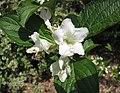 早錦帶花 Weigela praecox Avalanche -比利時國家植物園 Belgium National Botanic Garden- (9229877480).jpg