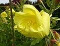 月見草 Oenothera biennis -溫哥華哥倫比亞大學植物園 UBC Botanical Garden, Vancouver- (16634083908).jpg