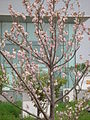 樱花 SAKURA - panoramio.jpg