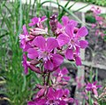 洋剪秋羅 Lychnis viscaria -比利時 Leuven Botanical Garden, Belgium- (9200932402).jpg