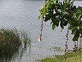 穗花棋盤腳 Bugenia racemosa L. - panoramio.jpg