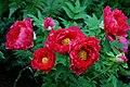 紅牡丹 Red Peonies - panoramio.jpg