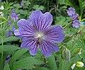 老鸛草屬 Geranium renardii -維也納高山植物園 Belvedere Alpine Garden, Vienna- (28975771880).jpg