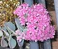 胭脂紅景天 Sedum spurium -日本姬路公園 Himeji, Japan- (9190626519).jpg