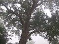 荔波-小七孔大树 - panoramio.jpg