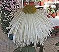 菊花-白松管 Chrysanthemum morifolium 'White Pine Needles' -香港圓玄學院 Hong Kong Yuen Yuen Institute- (12010751456).jpg