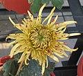 菊花-龍虎鬥 Chrysanthemum morifolium 'Dragon-Tiger Fighting' -中山小欖菊花會 Xiaolan Chrysanthemum Show, China- (12129358873).jpg