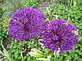 蔥屬 Allium hollandicum -挪威 Ulvik, Norway- (35188462493).jpg