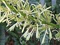 虎尾蘭 Sansevieria trifasciata -香港嘉道理農場 Kadoorie Farm, Hong Kong- (9222668188).jpg