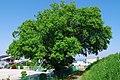 蛇穴のアカメヤナギ Salix chaenomeloides in Saragi 2014.5.13 - panoramio.jpg