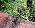 螳螂 Tenodera aridiforia - panoramio.jpg