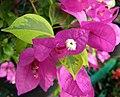 金葉紫花光葉子花 Bougainvillea glabra 'Golden Lady' -深圳蓮花山公園 Shenzhen Lianhuashan Park, China- (11205386404).jpg