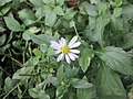 馬蘭 Kalimeris indica -香港公園 Hong Kong Park- (9200963780).jpg