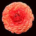 - Flower 18 -.jpg