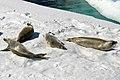 00 0350 Antarctica, Crabeater seal (Lobodon carcinophagus).jpg