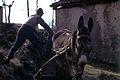 056 Uomo carica una fascina di legno sul mulo.jpg